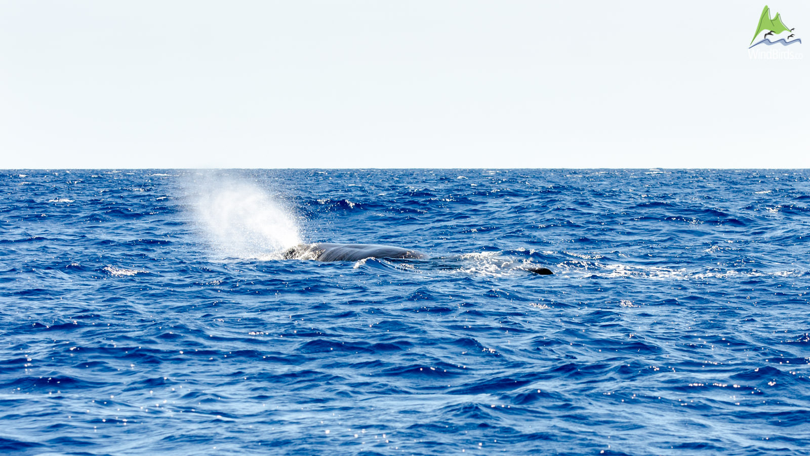 Madeira Whale Watching Trip Madeira whale watching Sperm whale Physeter macrocephalus