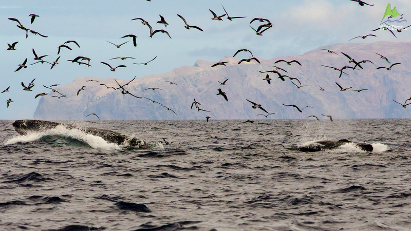 Bryde's whales and Cory's shearwaters