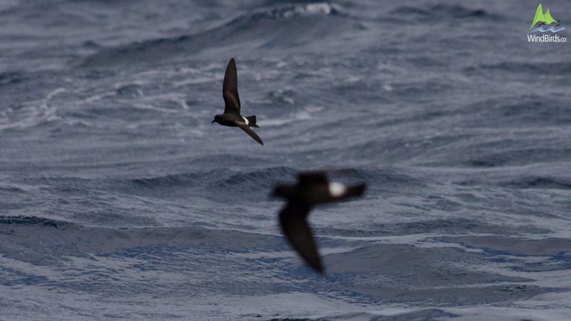 Madeiran Storm Petrel Oceanodroma castro