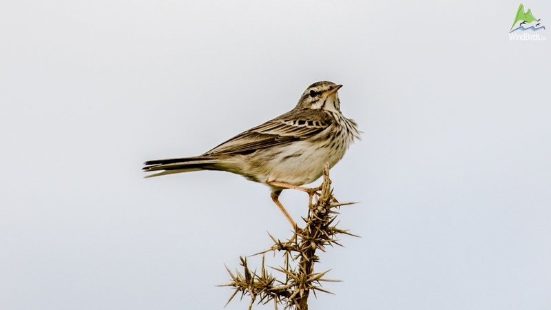 Berthelot's Pipit Anthus berthelotii