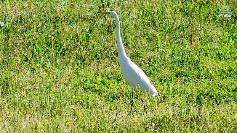 Great White Egret Ardea alba