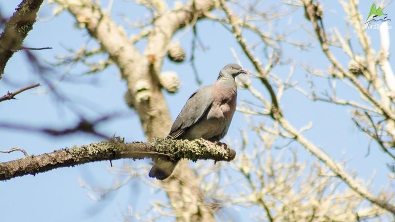 trocaz pigeon columba trocaz