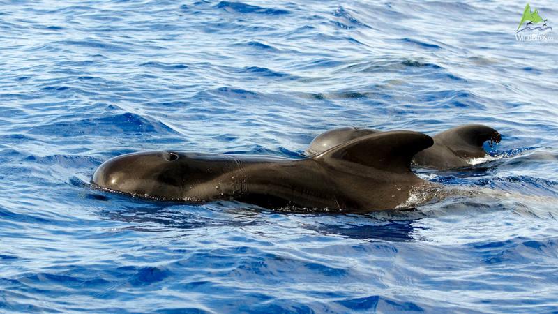 Short-finned Pilot whale Globicephala macrorhynchus
