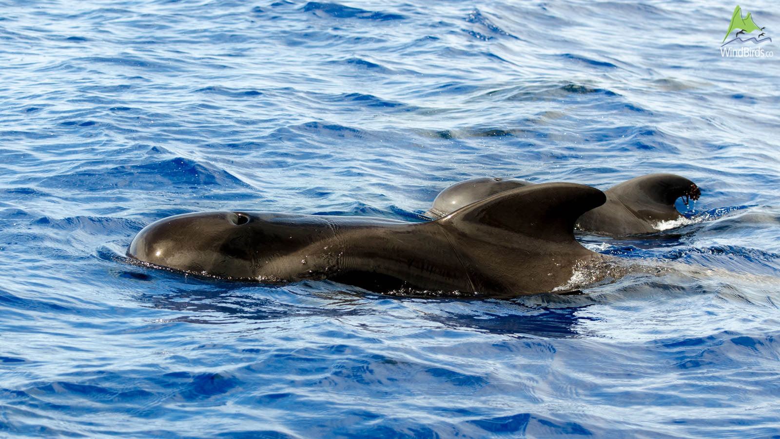Whale Watching Madeira short finned pilot whale globicephala macrorhynchus
