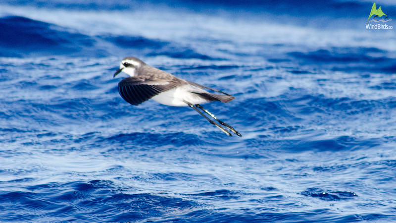 White-faced Storm Petrel Pelagodroma marina hypoleuca