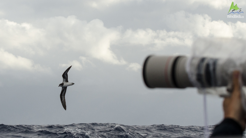 Photographing Zino's Petrel Pterodroma madeira on a Pelagic Expedition