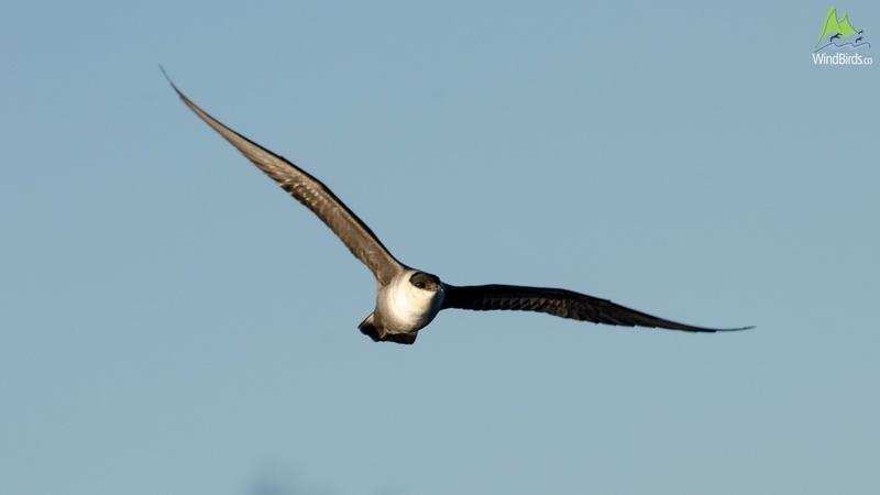 Long-tailed Jaeger Stercorarius longicaudus