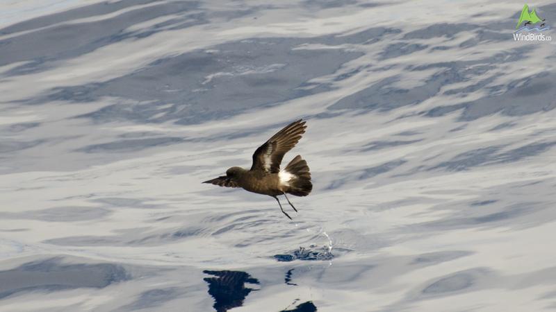european storm petrel hydrobates pelagicus