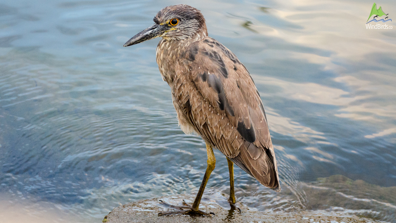 Yellow-crowned Night Heron Nyctanassa violacea