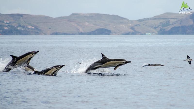 Short-beaked Common dolphin Delphinus delphis