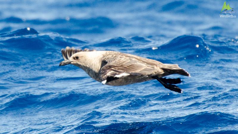South Polar Skua stercorarius maccormicki