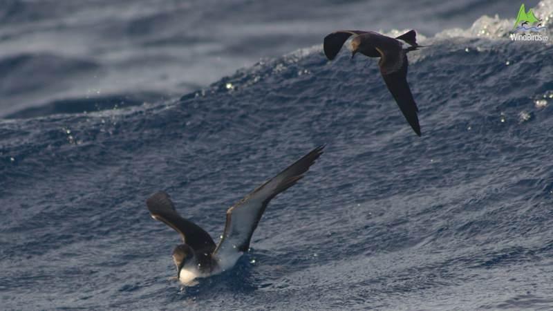 Leach's Storm-petrel Oceanodroma leucorhoa