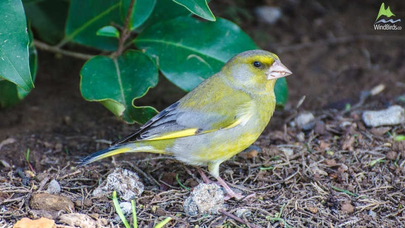 european greenfinch carduelis chloris