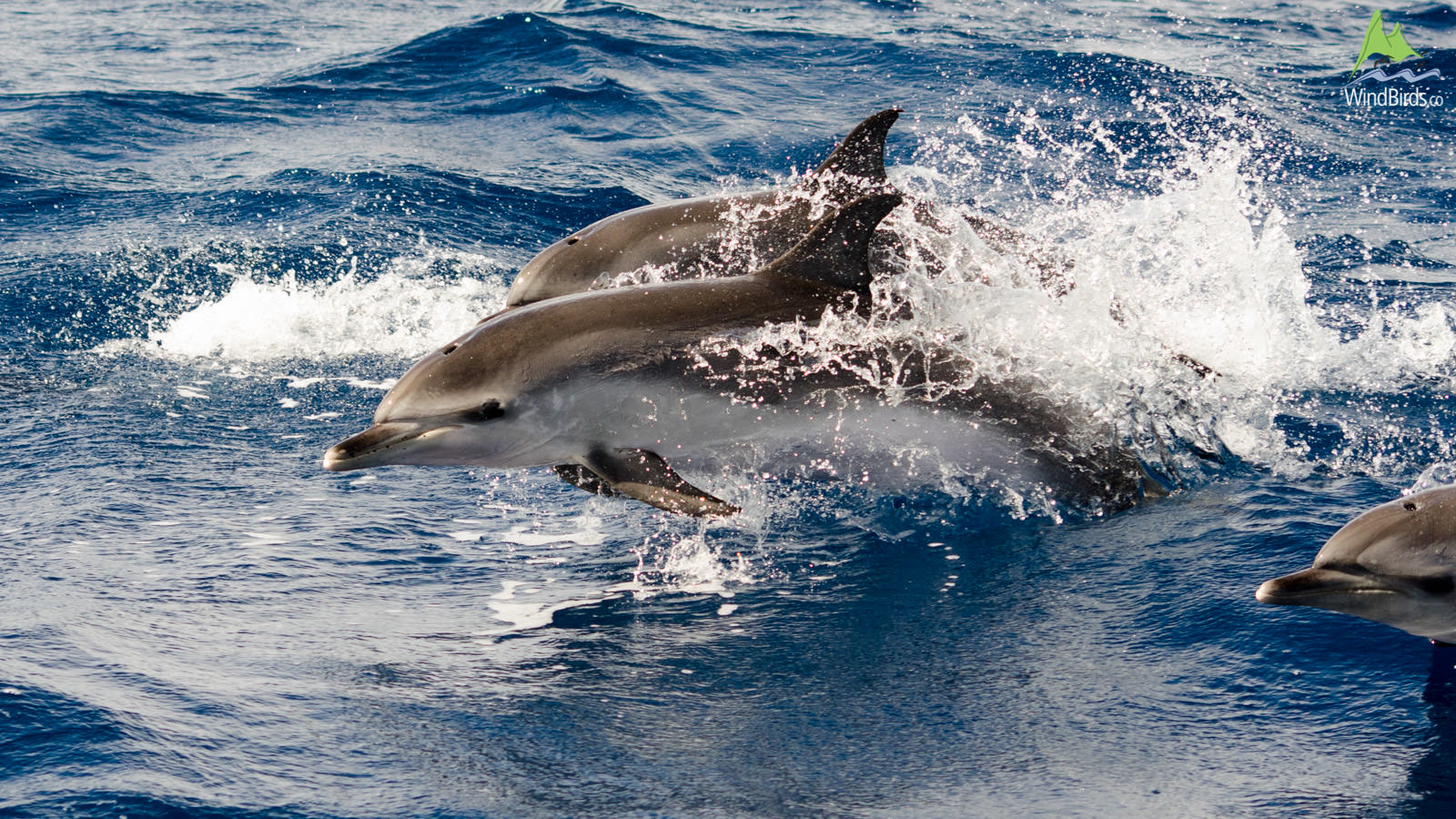 Whale Watching Madeira atlantic spotted dolphin stenella frontalis
