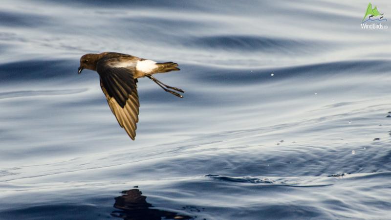 Wilson's Storm Petrel Oceanites oceanicus