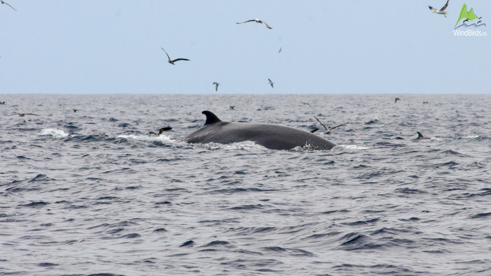 Whale Watching Madeira bryde's whale balaenoptera edeni